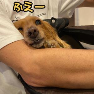 メルちゃん緊急受診しました☆突発性前庭症候群☆お薬3日分出ました。
