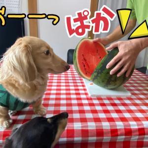 スイカを食べるスイカたち。