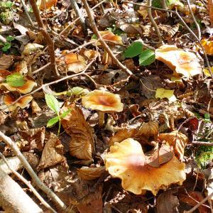 ブナ林の晩秋のキノコたち