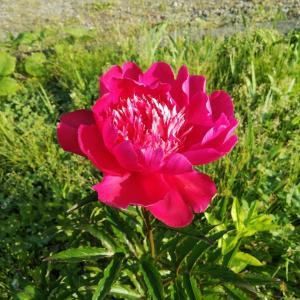 初夏の北海道の植物たち