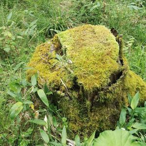 苔むす切り株がある場所に木を植える