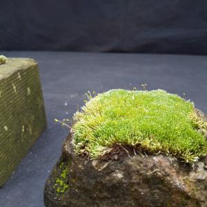 札幌軟石と苔