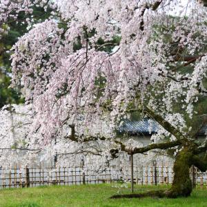 御所の桜②