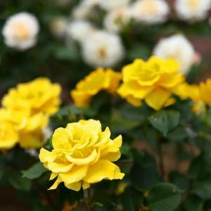 植物園のバラ④