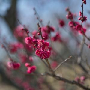 初春の梅小路ー3