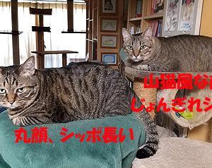 猫まみれな日々「似てる?」