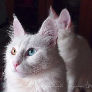 白い猫をいつも白くきれいにしておく方法