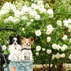 白のバラと☆