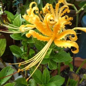 我が家の花 リコリス咲く