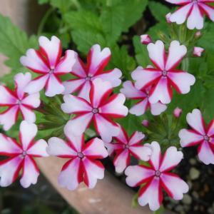 我が家の花 バーベナ咲く