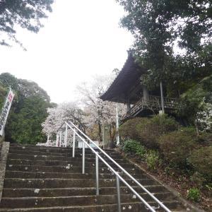 国の天然記念物 中将姫祈願桜 満開