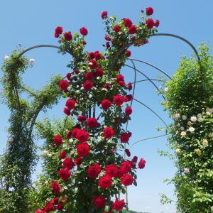 バラが美しい 花フエスタ記念公園 part 1