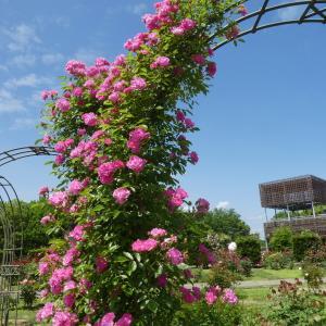ばら見ごろを迎えた 花フエスタ記念公園 part 2