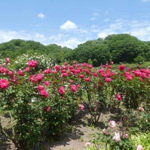 バラが美しい 花フェスタ記念公園 part 4