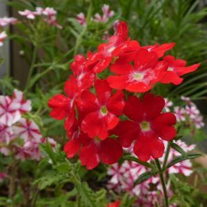 我が家の花  バーベナ咲く  part 5