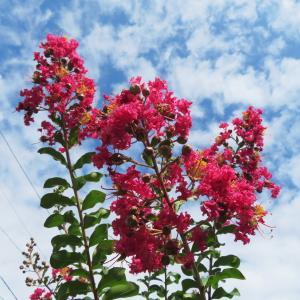 我が家の花 サルスベリ咲く