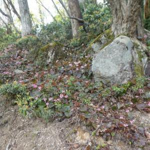 イワカガミ咲く 堂満岳 (1,057M)    下山 編 PART 2