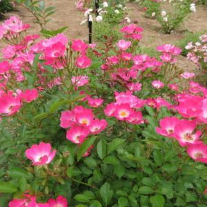 花フエスタ―記念公園 春のローズウイーク PART 4