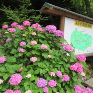 アジサイの花が美しい 明王山 (380M)     登頂 編