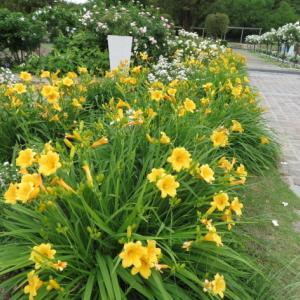 花フエスタ―記念公園 春のローズウイーク 最終回