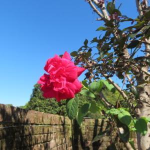 秋の薔薇 ぎふワールド・ローズガーデン PART 2