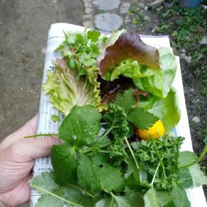 朝摘みサラダとお弁当と火鉢