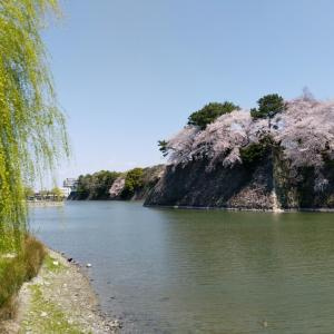 見頃を迎えた名古屋城お堀の桜