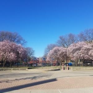 外に出てみたら桜が咲き始めていました
