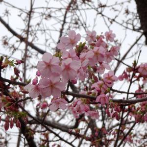 ★早咲きの桜とともに