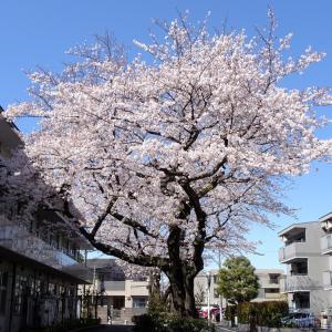★外出自粛中で、近くの桜を