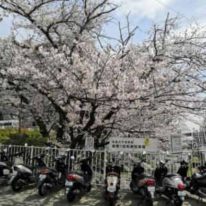 北千里駅前駐輪場の桜も満開~☆