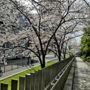 ちょっとした桜の花道を眺めながら出勤~☆