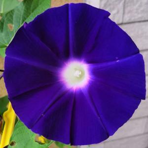 今日の #アサガオ #青紫 #水色