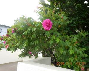 #4282 蝦夷梅雨にはハマナスが咲く July 5, 2020