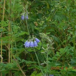 #4306 原野に咲く紫色の可憐な花 Aug. 8, 2020