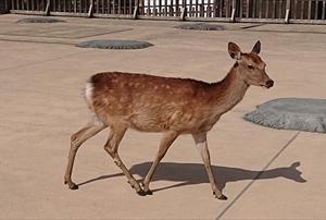 奈良で一杯と鹿せんべいと人間用鹿せんべい