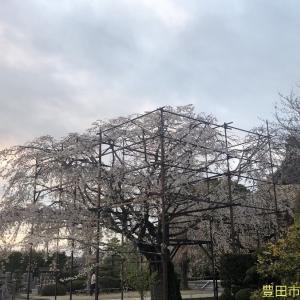樹齢250年のしだれ桜が見事・・・行福寺@豊田市桝塚東町でプチ花見