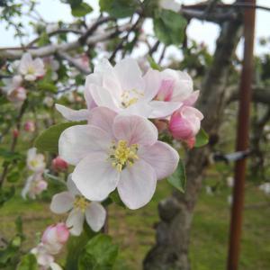 りんごの花に、未来を夢見て。