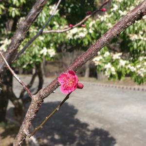 【盛岡ぶらぶら】紅梅に、春の息吹を感じて@岩手公園&緑の広場。