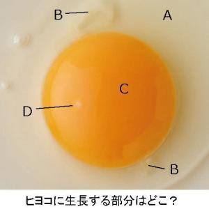 三胚葉形成からみた鶏卵の生長と太極図(「閃く經絡」の読み解き)