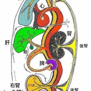「閃く經絡」の人体五臓図の解釈