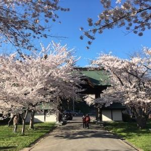 2020年度の小樽桜メモ
