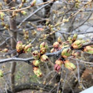 今年の桜は早そうとのことでツボミの様子を見てきました〜早く咲くことで知られている小樽警察署・総合福祉センター・メルヘン交差点