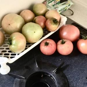 トマトの収穫が続いてます