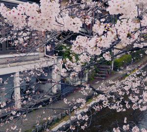 桜だより 木屋町通