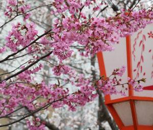 桜だより 木屋町通2