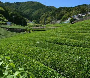 六月の茶畑