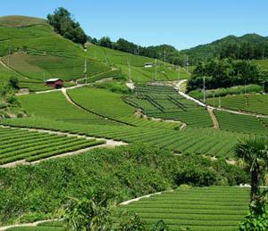 六月の茶畑 2