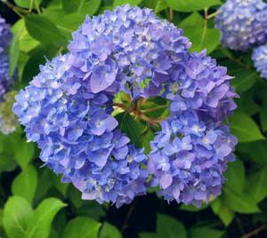わっか紫陽花
