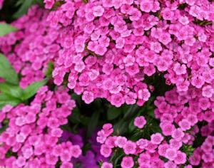 アメリカナデシコ Jolt Pink